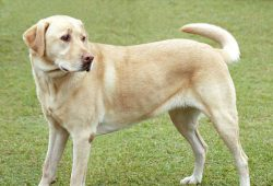 race chien labrador retriever