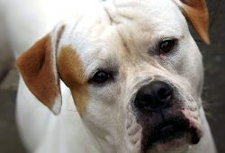 race american-bulldog