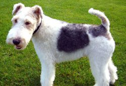 Fox-terrier à poil dur